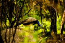 Peacock | Photography by artist Sawant Tandle | Art print on Canvas