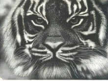 Tiger One | Painting by artist Preeti Ghule | charcoal | Paper
