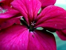 Pink Petals | Photography by artist Rohit Belsare | Art print on Canvas
