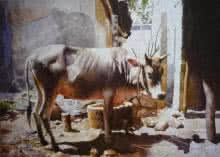 Animals Watercolor Art Painting title 'Cow' by artist Raghunath Sahoo