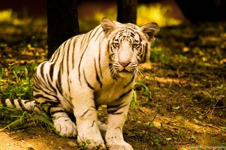 Tiger cub | Photography by artist Sawant Tandle | Art print on Canvas