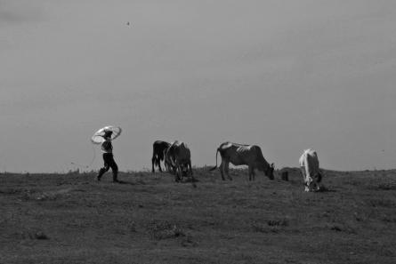 asia, agriculture, animal themes, bovidae, bovine, man, cattle,  cow, cows, day, dirt track, farm, farm animal, farm animals, farming, full length, group,
