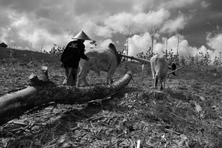 cow, bw, pull, wood, indonesia, #fineartphotography