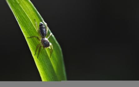 spider, black, widow, poisonous, web, latrodectus, red, hesperus, venomous, female, nature, arachnid, animal, hourglass, wildlife, wild, dangerous, danger