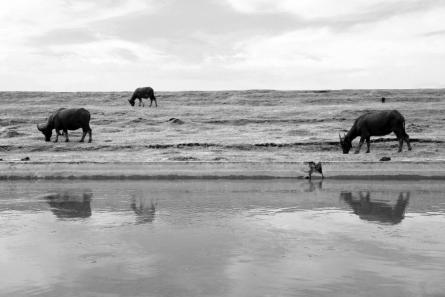 Three Cows | Photography by artist Rahmat Nugroho | Art print on Canvas