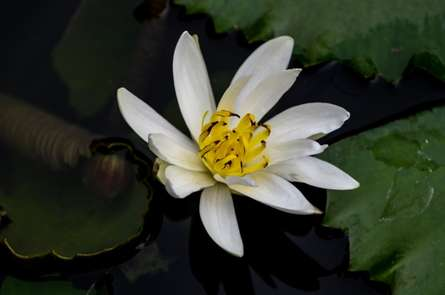 White Lilly | Photography by artist Naveen Palanivelu | Art print on Canvas