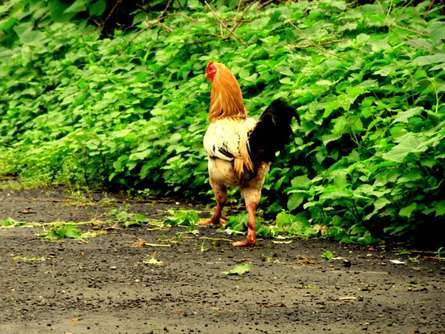 The Hen | Photography by artist Rohit Belsare | Art print on Canvas
