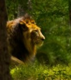 Lion | Photography by artist Sawant Tandle | Art print on Canvas