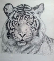 Pencil Paintings | Drawing title Bengal Tiger on Paper | Artist Rajendra V