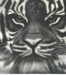 Animals Charcoal Art Painting title 'Tiger ' by artist Preeti Ghule
