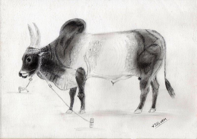 Majestic Kangayam Bull by artist Selvam Venkatesan ...