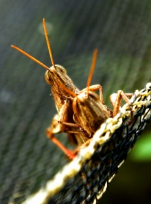 grasshopper, insect, nature, animal, green, wildlife, wild, bug, antenna, macro, background, grass, white, summer, cricket, isolated, animals, insects, ill
